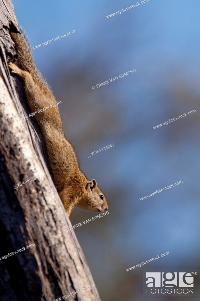 Stock Photo: Tree Squirrel stretching, yawning and sunbathing  June 2009, winter  Balule Private Nature Reserve, York section  Greater Kruger National Park, Limpopo.