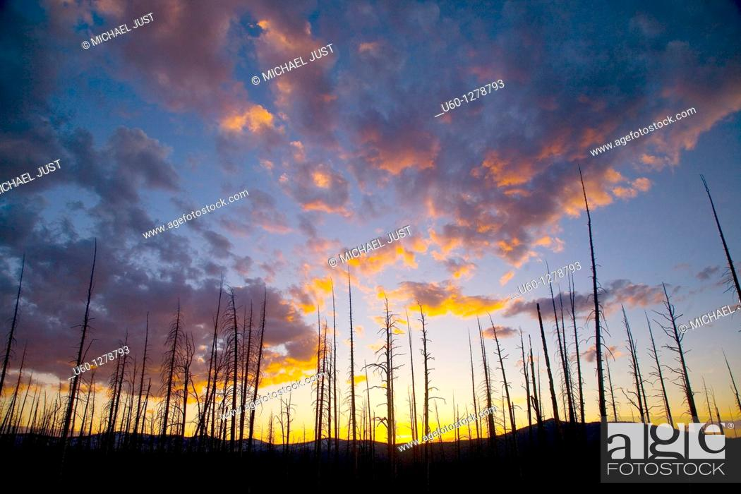 Stock Photo: The sun sets behind an old growth forest of Lodgepole Pines at Yellowstone National Park, Wyoming.