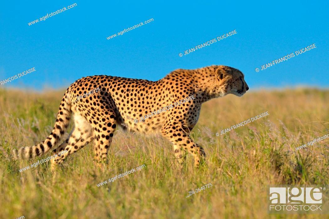 Cheetah Acinonyx Jubatus Walking In The Tall Grass Late