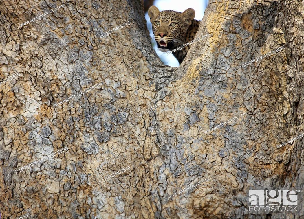 Stock Photo: A Leopard in a tree, Okavango Delta, Botswana.