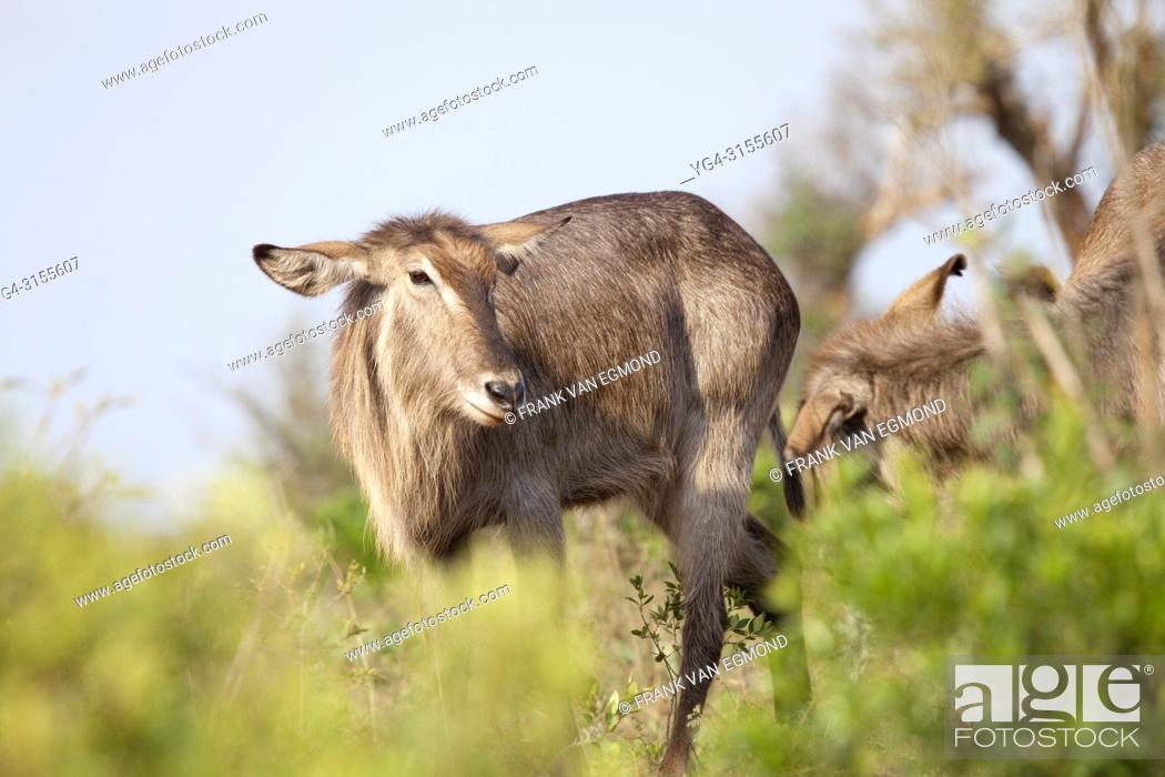 Stock Photo: Waterbuck (obus ellipsiprymnus), Hluhluwe-Imfolozi, South Africa.