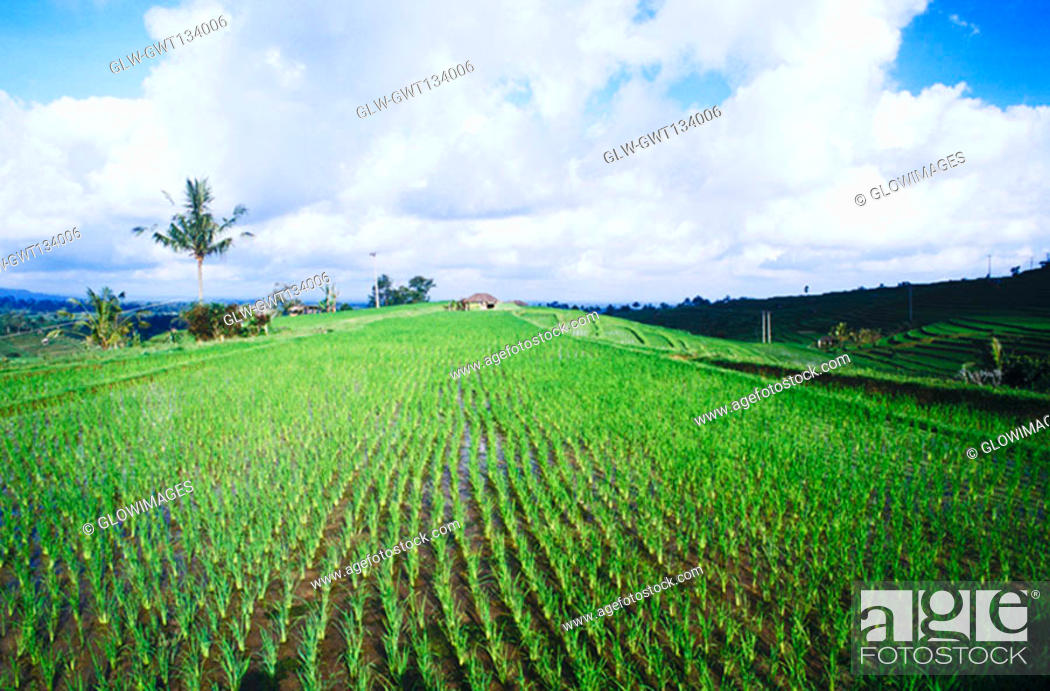 Stock Photo: Panoramic view of a rice paddy field, Bali, Indonesia.