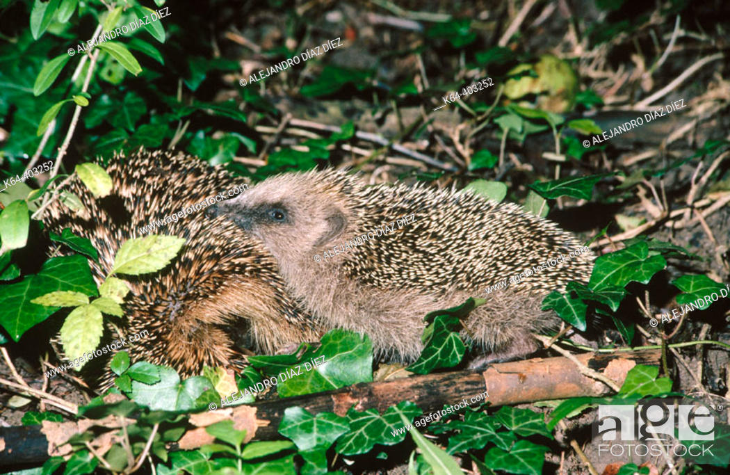 Stock Photo: Hedgehog (Erinaceus europaeus) with young.