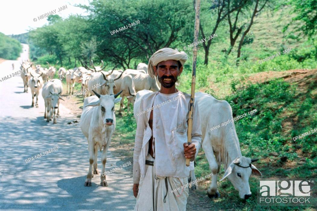 Stock Photo: Cows herd and shepard , india.