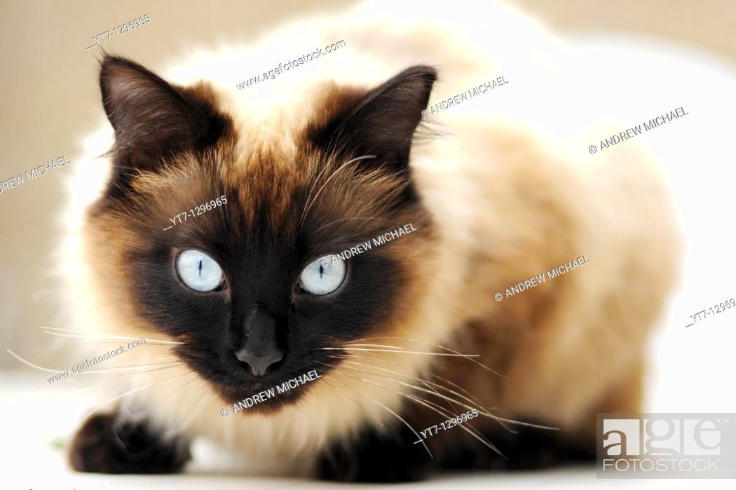 Stock Photo: Piercing blue eyes of 'Ragdoll' breed of domestic cat.