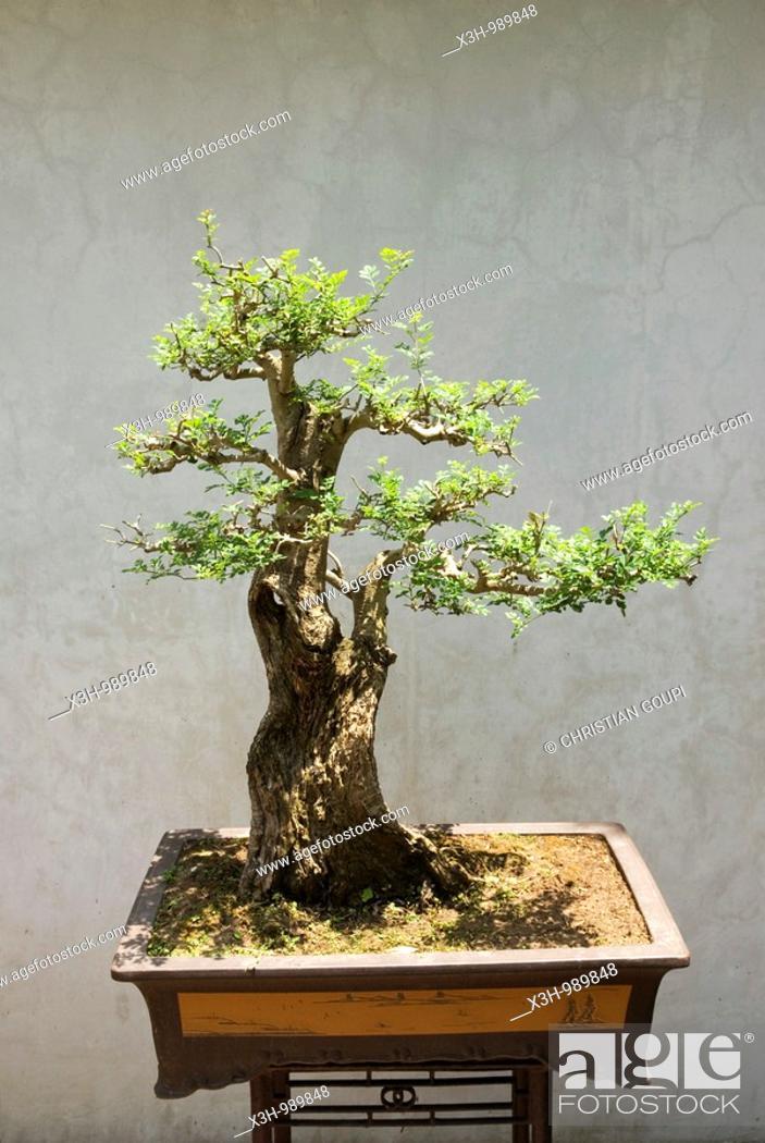 Stock Photo: bonsai,Lou Lim Leoc garden,Macau,Special Administrative Region,China,Asia.