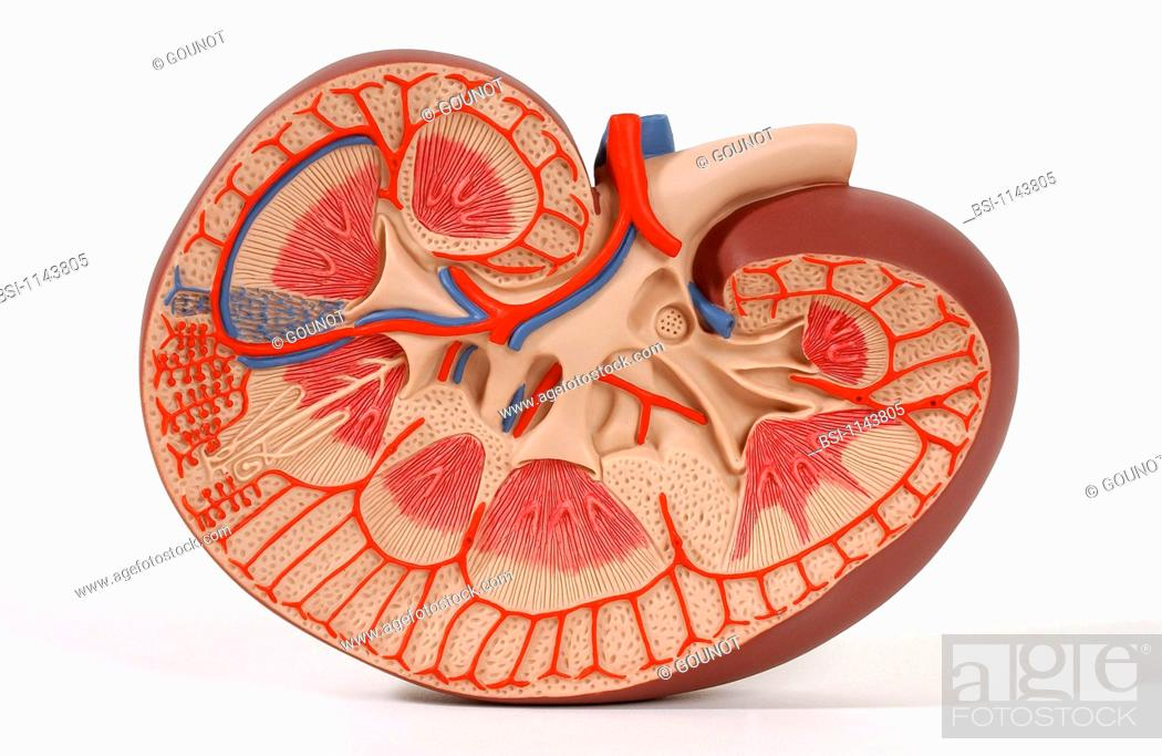 Model of the internal anatomy of the right kidney of an adult human ...
