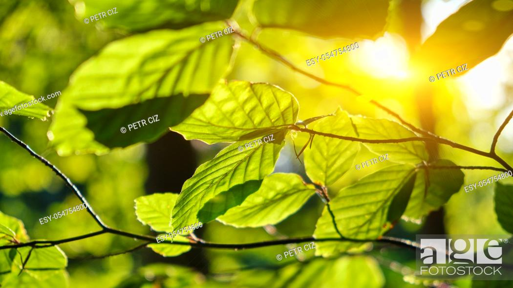 Stock Photo: Beech leaves in sun rays background.