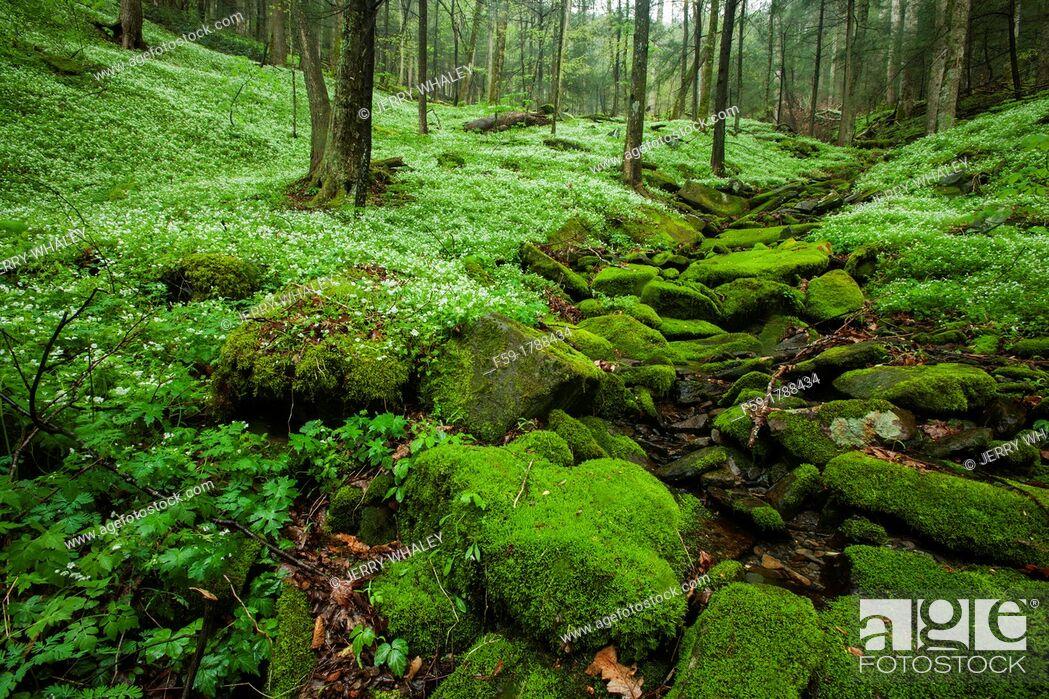 Stock Photo: Spring, Phacelia & Trillium, Great Smoky Mtns National Park, TN.