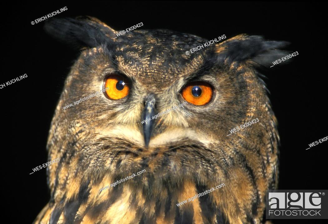 Stock Photo: eagle owl, Bubu bubu.