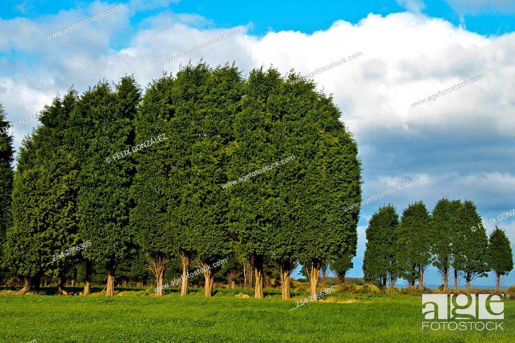 Imagen: Cypress path at Asturias, Spain.