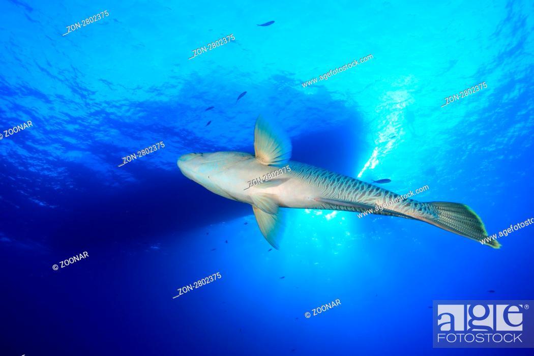 Stock Photo: Napoleon Lippfisch, Cheilinus undulatus, Ägypten, Rotes Meer, Humphead Wrasse, Aegypt, Red Sea.
