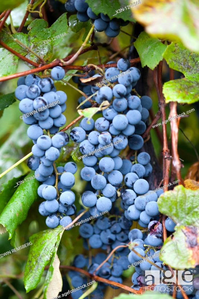 Stock Photo: Grapes, Erie, Pennsylvania, USA.