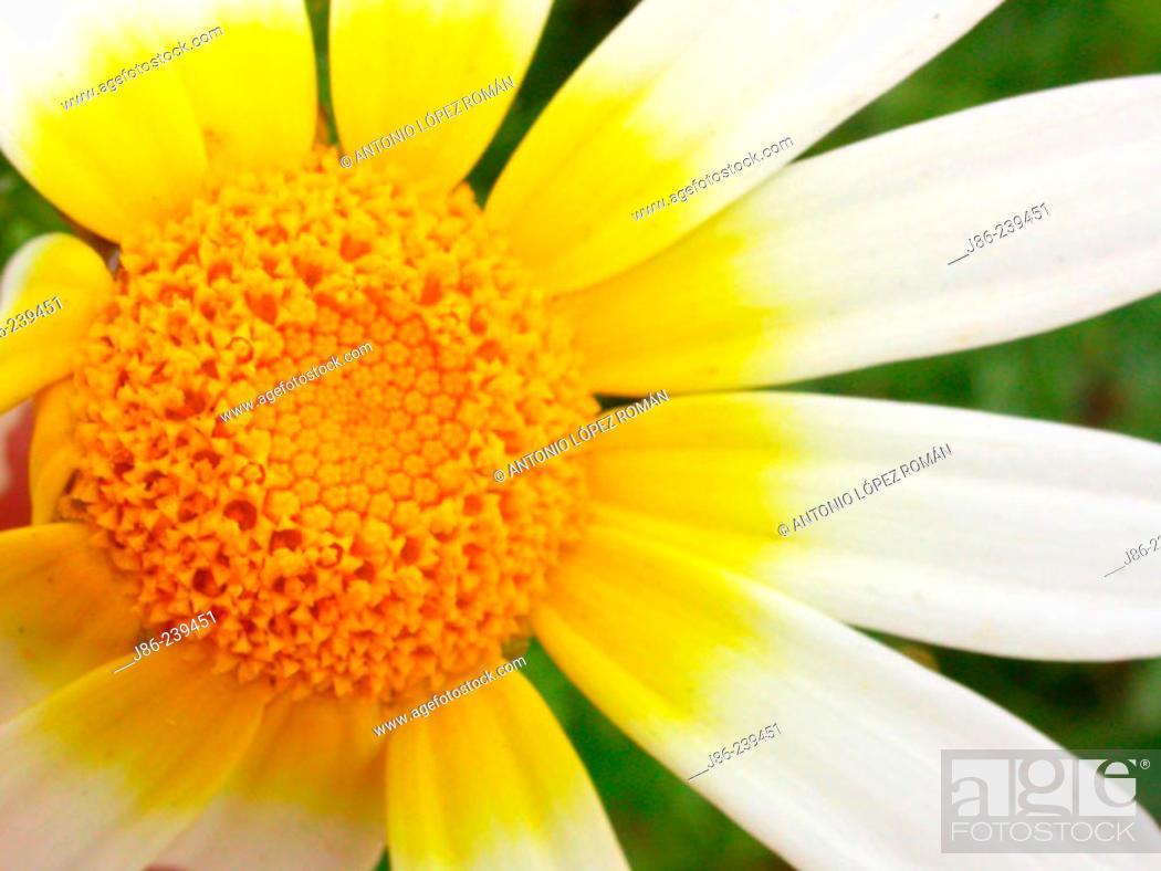 Stock Photo: Crown Daisy (Chrysanthemum coronarium).