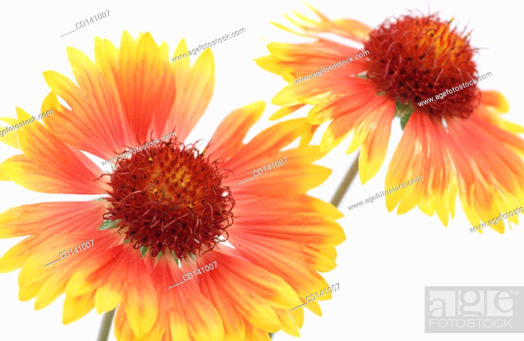 Stock Photo: Blanketflowers (Gaillardia sp.).
