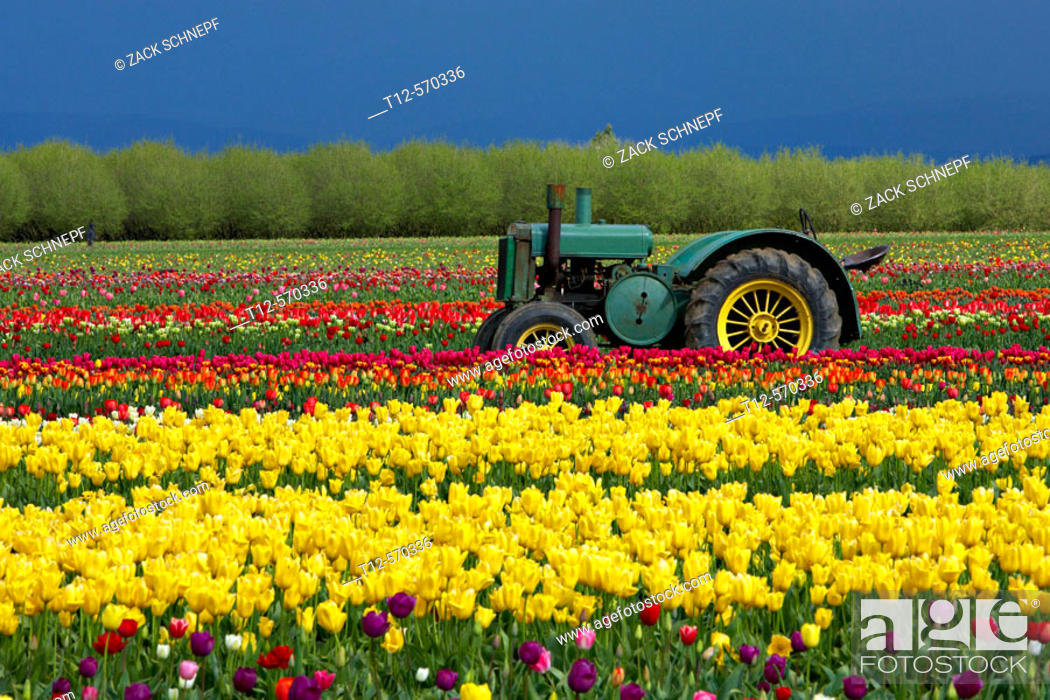Stock Photo: Tulip field.