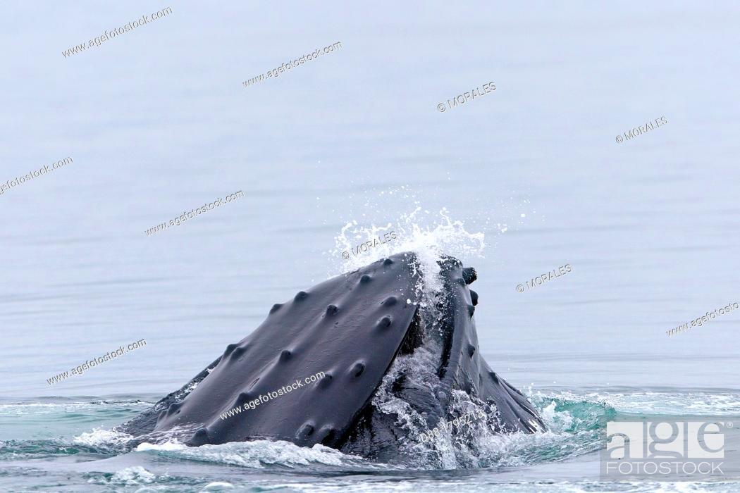 Stock Photo: Norway, Svalbard, Spitsbergen, Nordaustlandet , Humpback whale  Megaptera novaeangliae , Mouth open with lateral lunge  , surface feeding.
