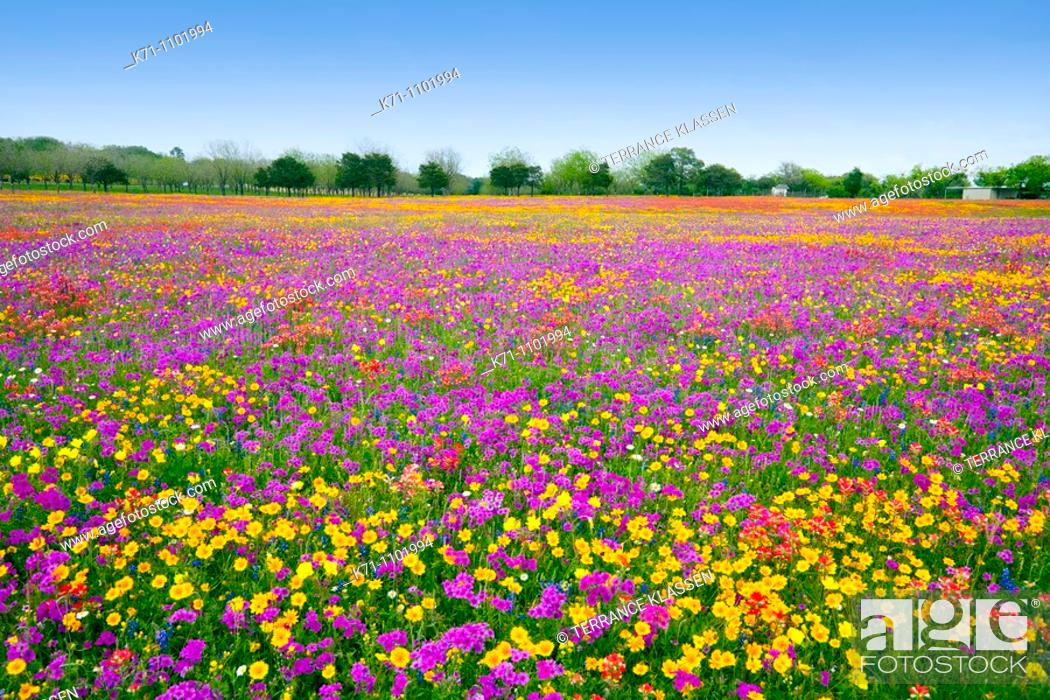 Stock Photo: A field of multi-colored spring flowers near New Berlin, Texas, USA.