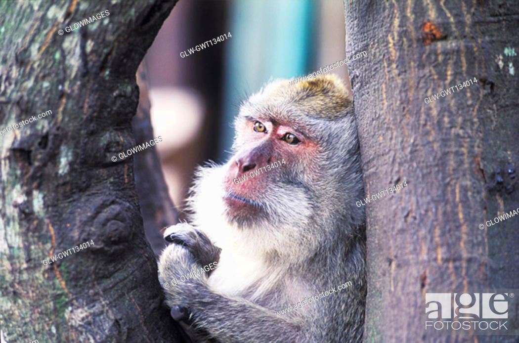 Stock Photo: Close-up of a monkey on a tree, Bali, Indonesia.