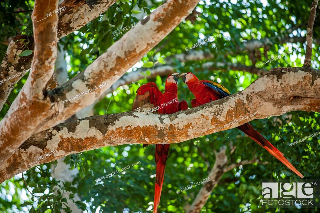 Stock Photo: 'Scarlet macaw' (Ara macao), This brilliantly colored, medium-sized macaw is the only macaw found on the Pacific side of Costa Rica.