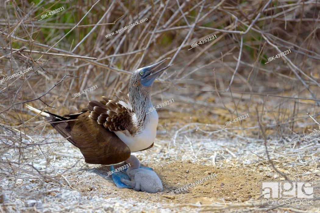 Stock Photo: Blue-footed booby (Sula nebouxii) with chick, adult providing shade, dry vegetation, Isla de la Plata, Machalilla National Park, Manabi Province, Ecuador.
