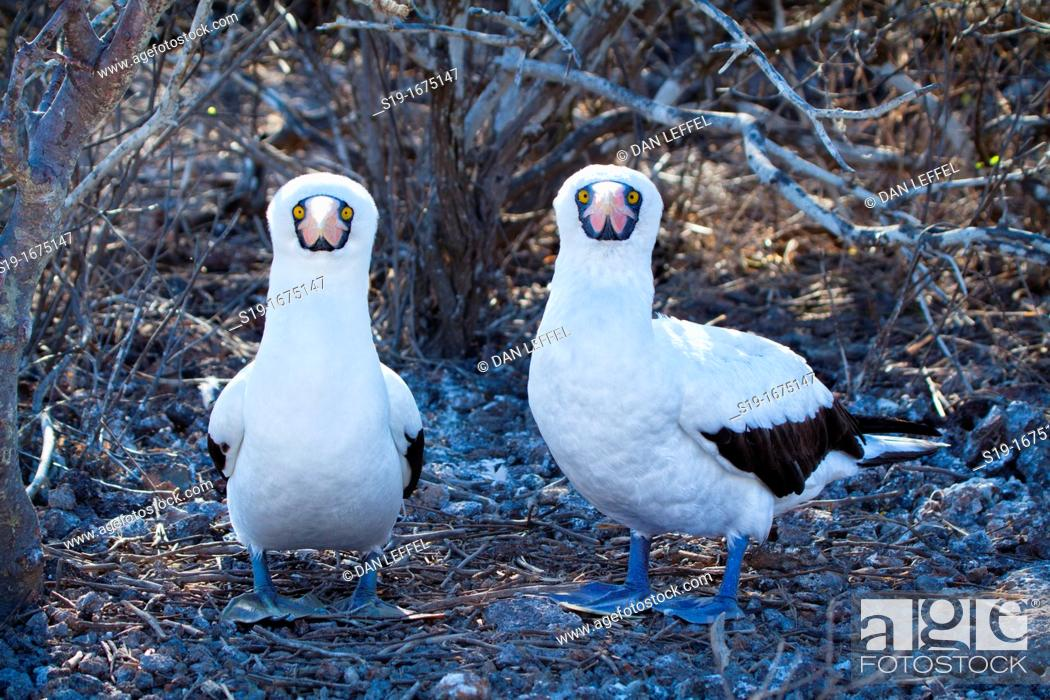 Stock Photo: Pair of masked boobies building nest, Galapagos Islands.