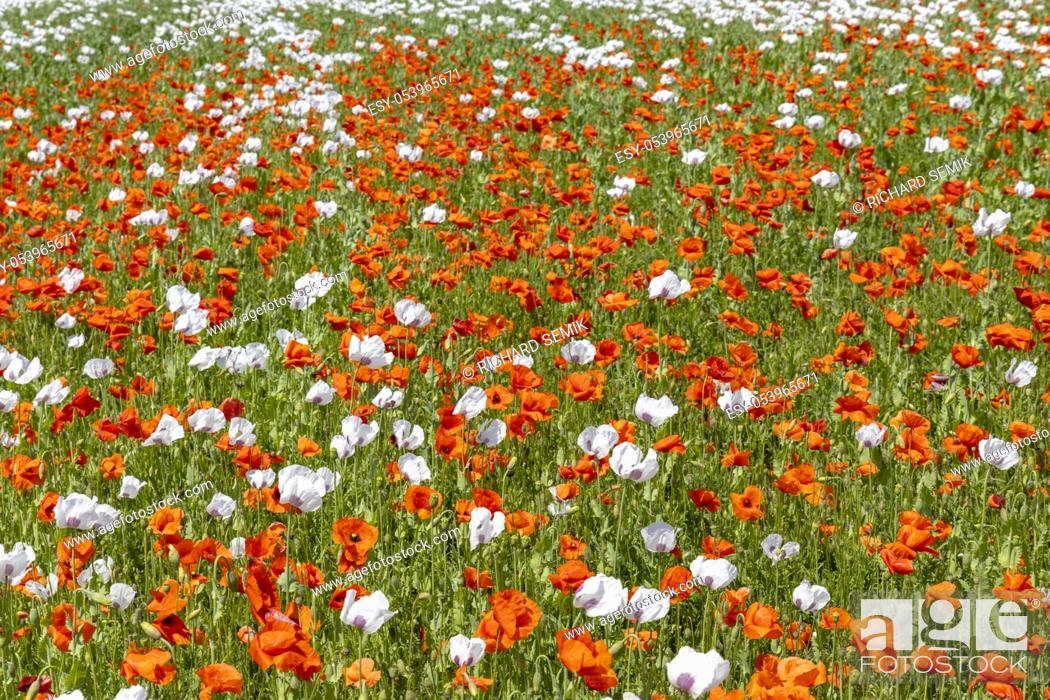 Stock Photo: Poppy field, Vysoocina near Zdar nad Sazavou, Czech Republic.