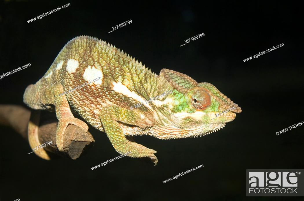 Imagen: Panther Chameleon Furcifer pardalis, Madagascar.