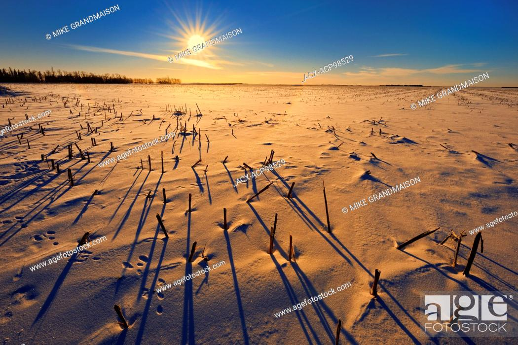 Stock Photo: Stubble at sunrise in winter Anola Manitoba Canada.