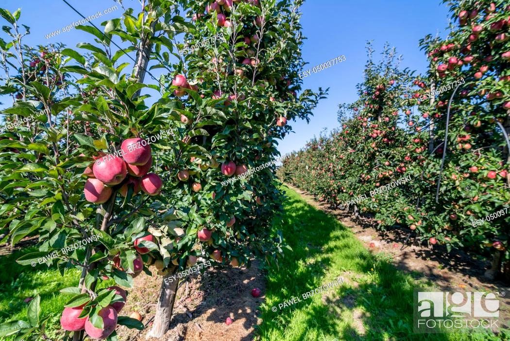 Stock Photo: Apple orchard during apple harvesting.