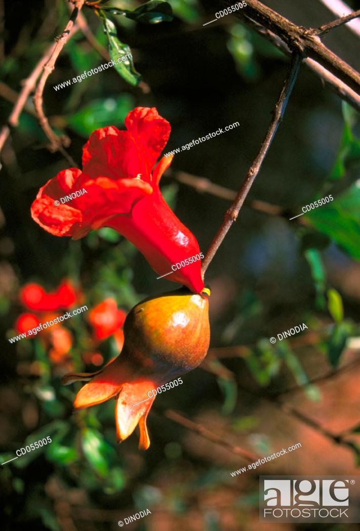 Stock Photo: Pomegranate. Ganpatipule. Maharashtra. India.