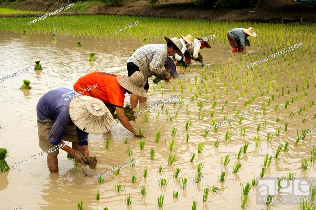 Stock Photo: Rice cultivation on the fields in North East Thailand.