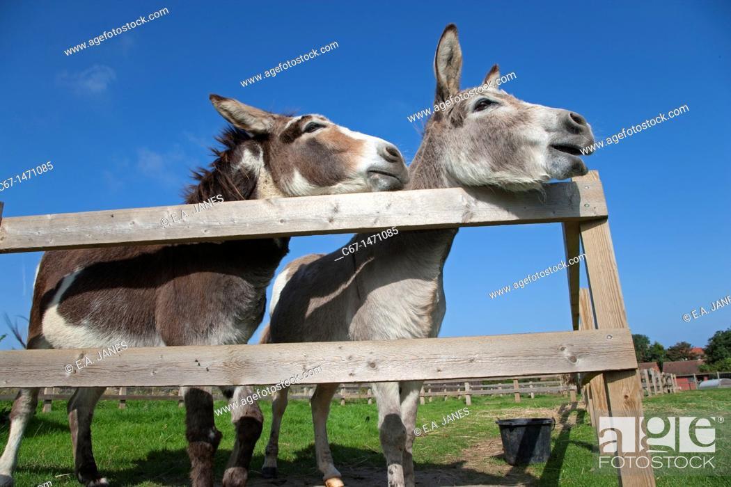 Stock Photo: Donkeys on Norfolk Farm in summer.