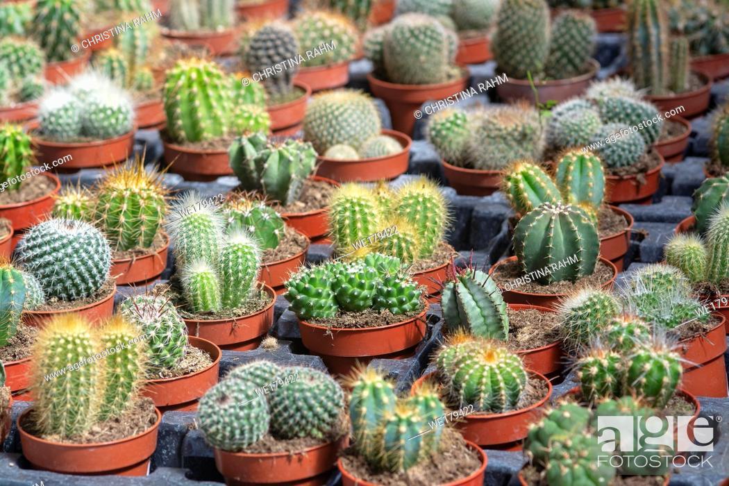 Stock Photo: Succulent cactus plants in pots. Spring garden series, Mallorca, Spain.