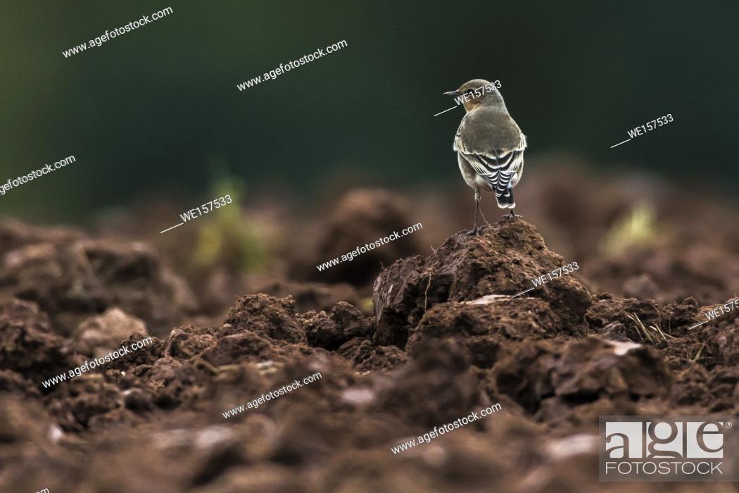 Stock Photo: Germany, Saarland, Homburg - A common wheatear on a field near Börsborn/germany.