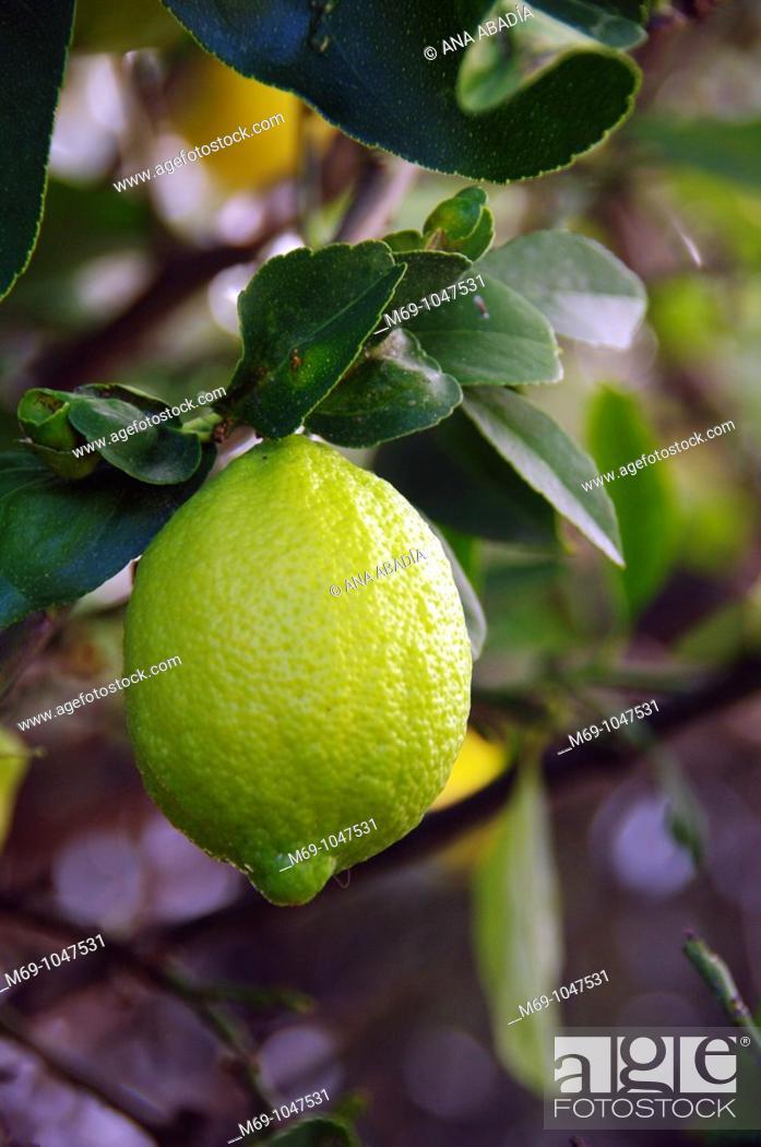 Stock Photo: limón en árbol.