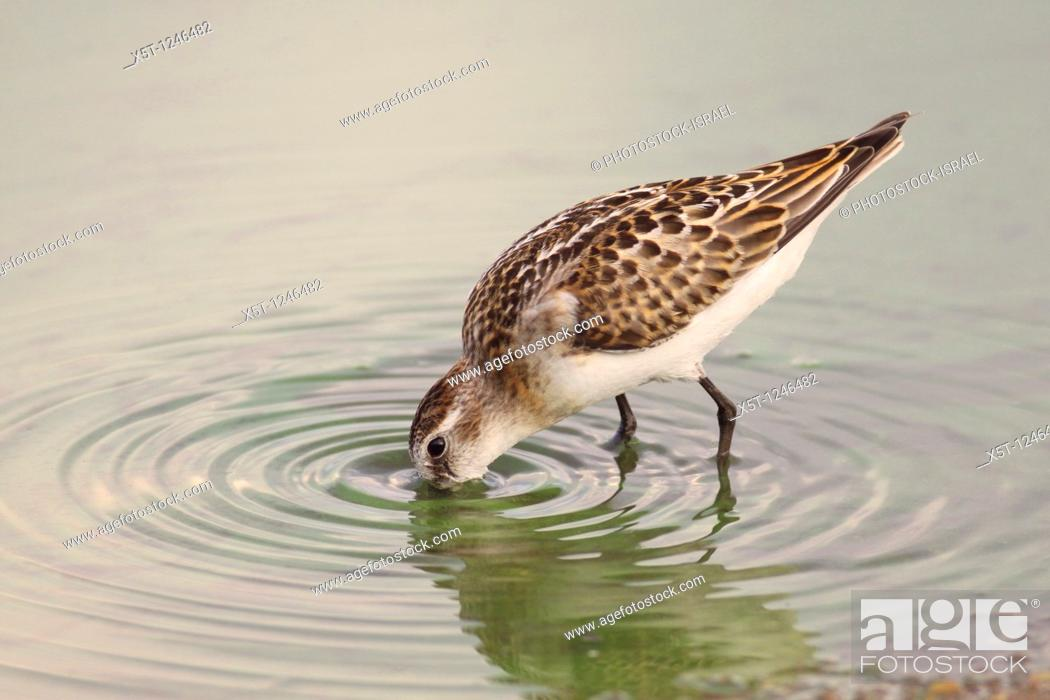 Stock Photo: little stint Calidris minuta  This small wading shorebird is a migrant, breeding in the sub-Arctic tundra and islands, and spending the winter around the coasts.