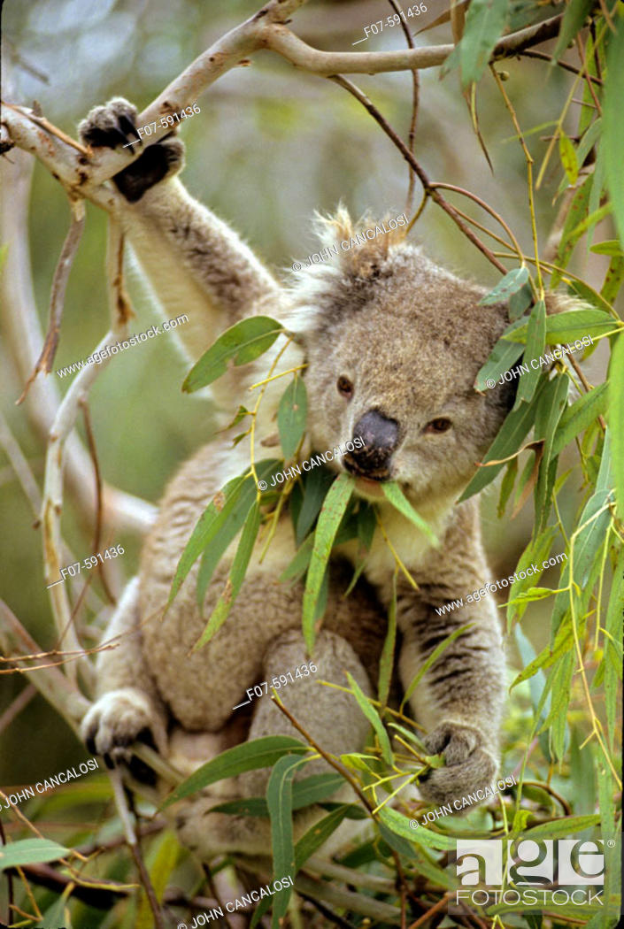 Stock Photo: Koala (Phascolarctos cenereus) - Eating eucalpytus leaves - Australia - Range is from southestern Queensland through eastern New South Wales and Victoria to.