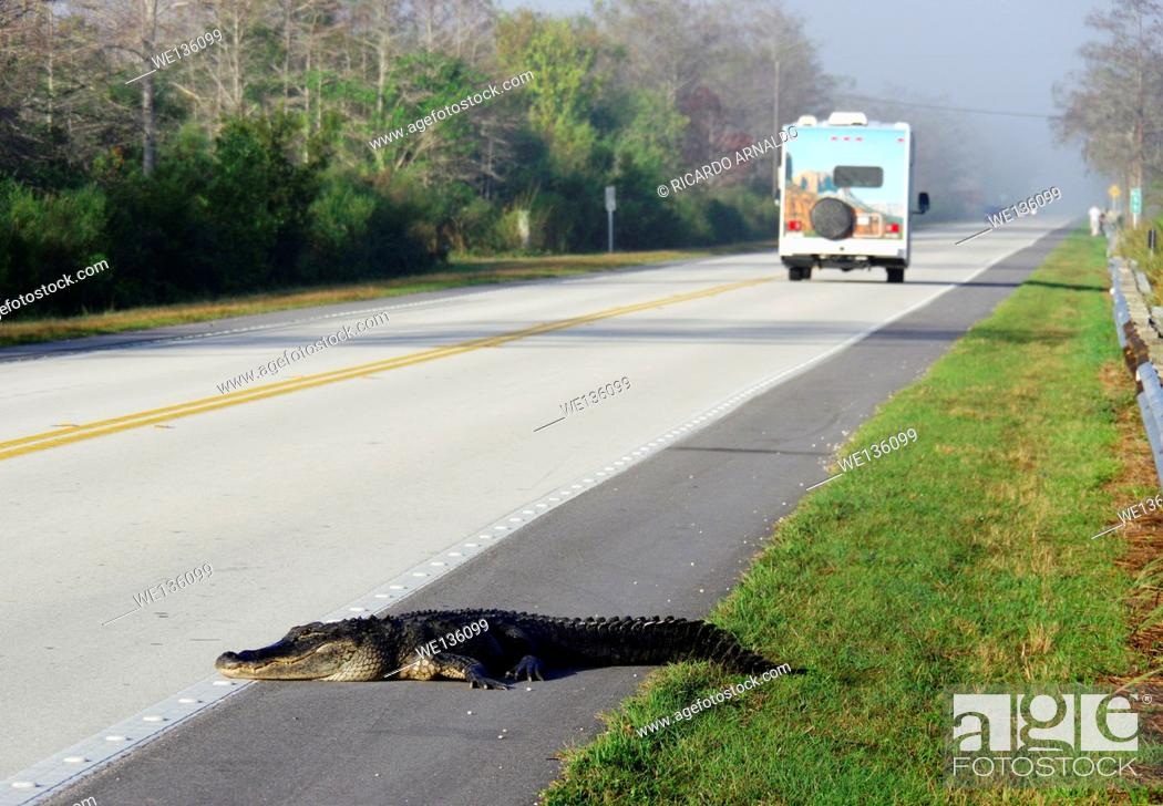 Imagen: Alligator crosses the road.