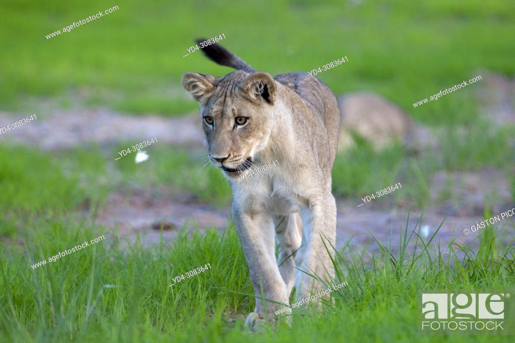 Stock Photo: African lion (Panthera leo), rainy season, Kgalagadi Transfrontier Park, Kalahari desert, South Africa. .