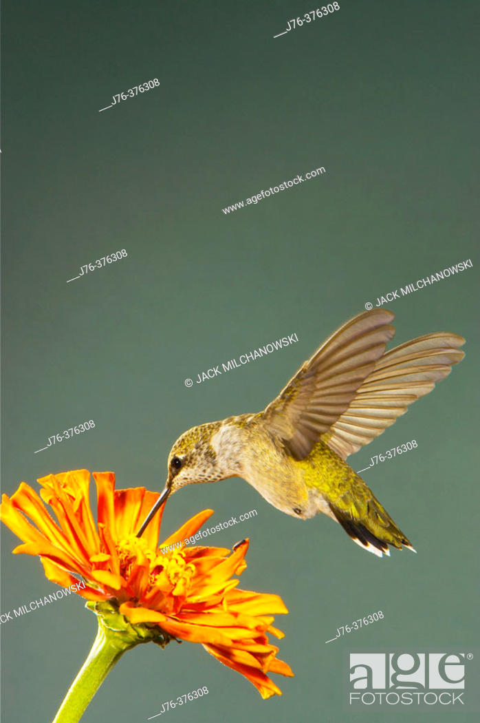 Stock Photo: Broad-tailed Hummingbird (Selasphorus platycercus).