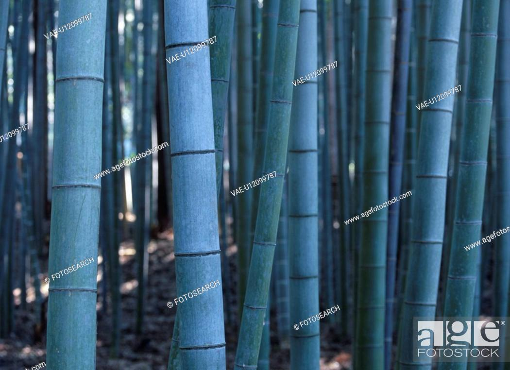 Stock Photo: Moso Bamboo.