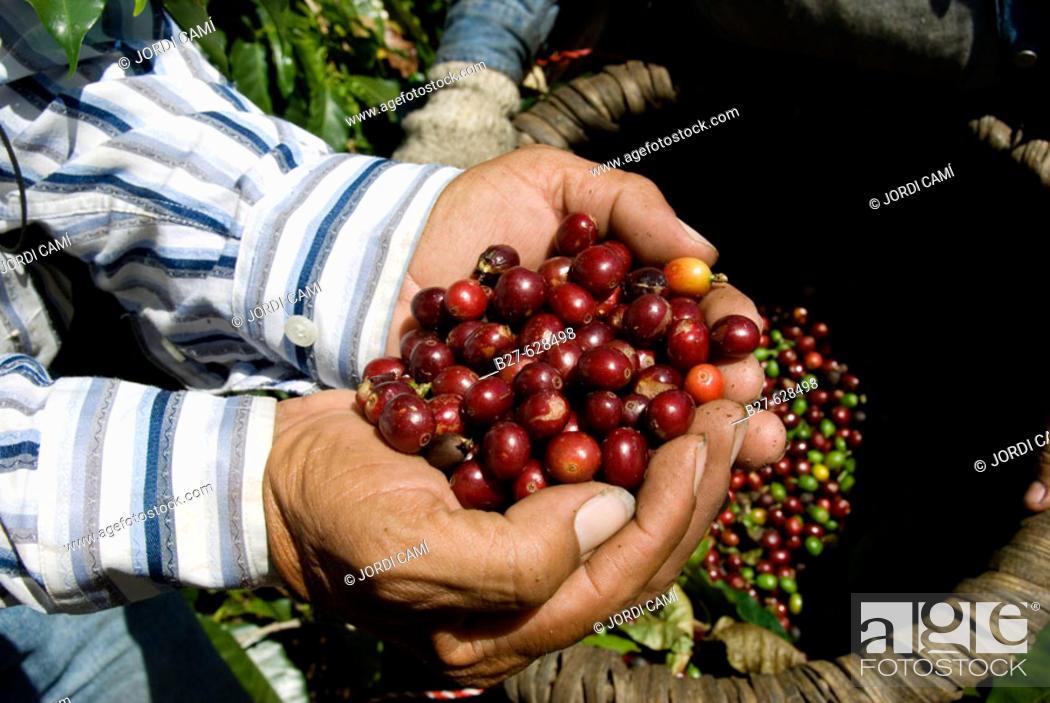 Stock Photo: Arabica quality coffee beans. Coffee plantations near Poas volcano. Central Valley. Costa Rica. Central America.
