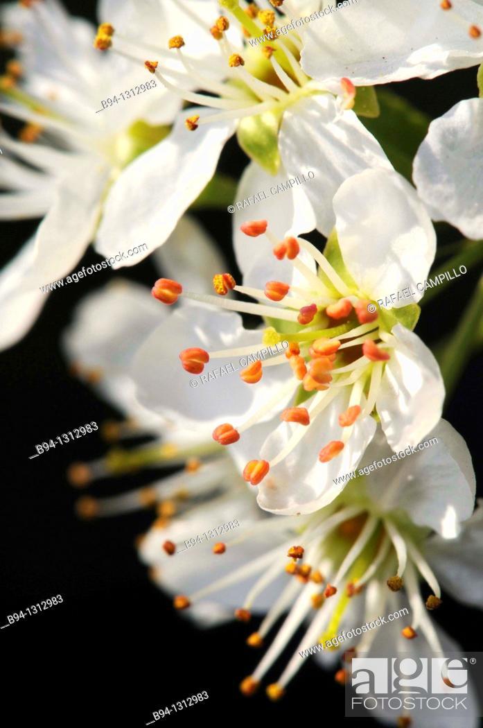 Stock Photo: Cherry blossoms, Torrelles de Llobregat, Barcelona, Catalonia, Spain.