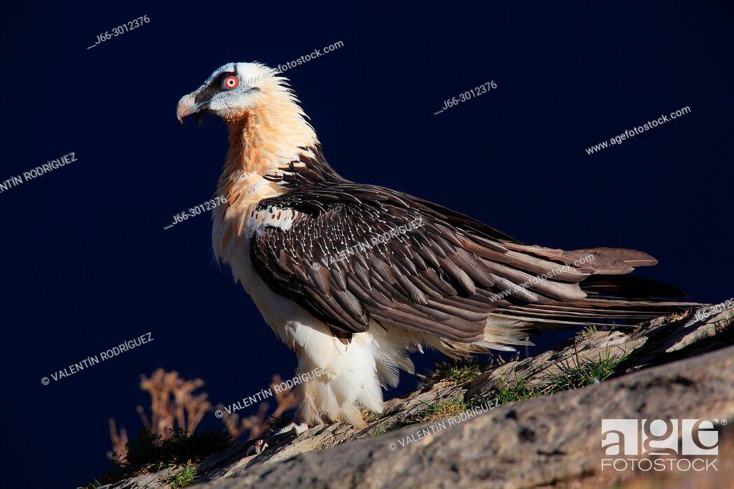 Imagen: Bearded vulture (Gypaetus barbatus) in the Ordesa y Monte Perdido national park. Huesca.