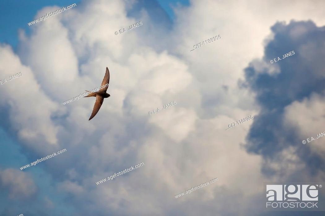 Stock Photo: Swift Apus apus.