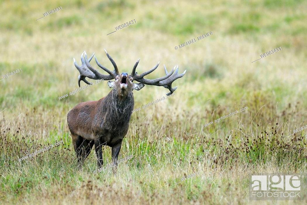Stock Photo: Red deer, Cervus elaphus, Rothirsch, Rotwild.