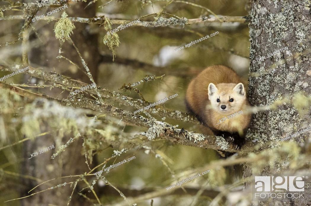 Stock Photo: American pine marten (Martes americana) in winter, Algonquin Provincial Park, Ontario, Canada.