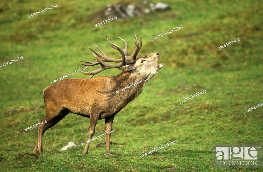 Stock Photo: red deer.