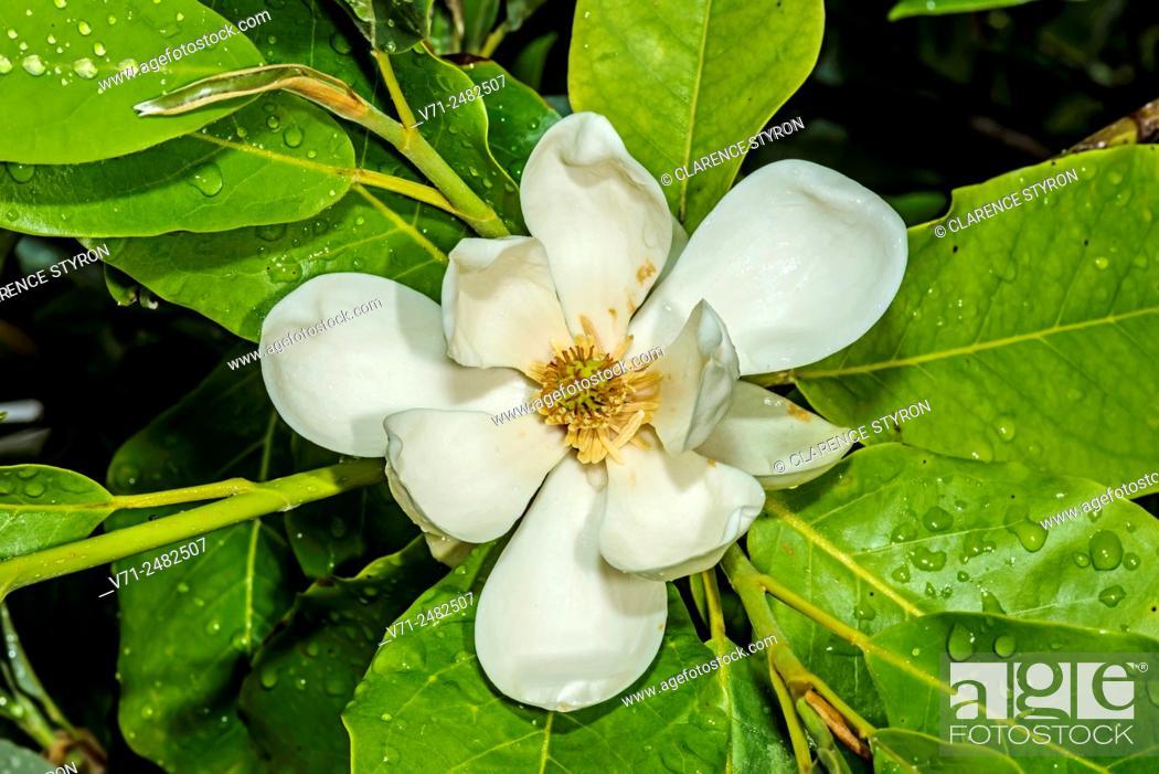 Stock Photo: Magnolia virginiana.